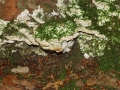Oxyporus populinus, Treppenförmiger Steifporling