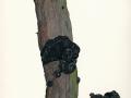 Exidia glandulosa  Bull.: Fr. ,  Stoppeliger Drüsling, Becherförmiger Drüsling