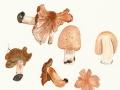 Inocybe erubescens  Blytt , Ziegelroter Risspilz