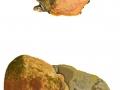Fomitoporia robusta  (Karst.) Fiasson & Niemelä, Eichen-Feuerschwamm