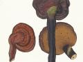 Ganoderma lucidum (M.A. Curtis:Fr.) Karst. , Glänzender Lackporling