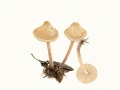 Marasmiellus confluens (Pers.) Oliveira , Knopfstieliger Blasssporrübling