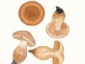Cortinarius duracinus Fr. , 2 , Wurzelnder Wasserkopf