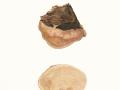 Fomitopsis pinicola (Sw.:Fr.) P. Karst. , Rotrandiger Baumschwamm