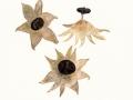 Geastrum pectinatum Pers. , Kamm-Erdstern