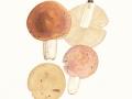 Russula pulchella Borsz. , Verblassender Täubling