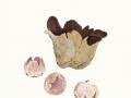 Sarcophaera coronaria (Jacq.) J.Schröt. , Violetter Kronenbecherling