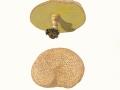 Xerocomus truncatus Singer, Snell & E.A.Dick , Falscher Rotfuß-Röhrling