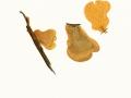 Tapinella  panuoides (Fr.:Fr.) Gilb. , Muschel-Krempling