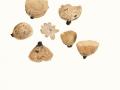 Tarzetta catinus (Holmsk.:Fr.) Korf & Rogers , Tiegelförmiger Kelchbecherling