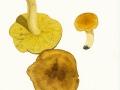 Tricholoma equestre (L.:Fr.) Kumm. , Grünling