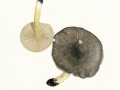 Tricholoma portentosum  (Fr.) Quél. , Schwarzfaseriger Ritterling, Schneeritterling
