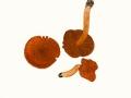 Cortinarius (Lep.) orellanus Fr. , Orangefuchsiger Raukopf