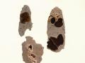 Encoelia furfuracea (Roth) Karst. , Hasel-Kleiebecherling