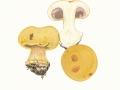Cortinarius (Phleg.) anserinus (Velen.) Rob. Henry , Buchen-Klumpfuß