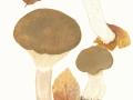 Clitopaxillus  alexandri (Gillet) G.Moreno, Vizzini, Consiglio & P. Alvarado  , Buchsblättriger Trichterling