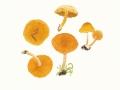 Gymnopilus penetrans (Fr.:Fr.) Murrill , Gemeiner Flämmling , Geflecktblättriger Flämmling