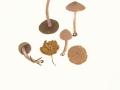 Inocybe phaeocomis (Pers.) Kuyp. var. major (S.Petersen) Kuyp , Violettlicher Risspilz