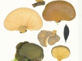 Panellus serotinus (Pers.:Fr.) Kühner , Gelbstieliger Muschelseitling , NPH