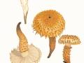 Pholiota squarrosa (Weigel:Fr.) Kumm. , Sparriger Schüppling