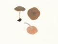 Pluteus phlebophorus (Ditmar:Fr.) Kumm. ss.auct. , Runzeliger Dachpilz