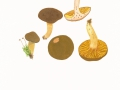 Phylloporus rhodoxanthus (Schwein.) Bres. , Europäisches Goldblatt , NPH