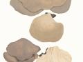 Pleurotus ostreatus (Jacq.:Fr.) Kumm. , Austern-Seitling