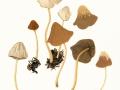 Psathyrella spadiceogrisea (Schaeff.:Fr.) Maire , Schmalblättriger Mürbling