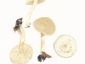 Tricholoma stiparophyllum (S.Lundell) Karst. , Weißer Ritterling