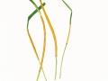 Epichloe typhina (Pers. ex Fr.) Tul. , Gras-Kernpilz