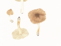 Inocybe phaeodisca Kühner var. phaeodisca , Cremerandiger Risspilz