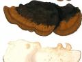 Ischnoderma resinosum (Schrad.:Fr.) Karst. , Laubholz-Harzporling