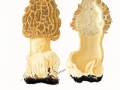Morchella esculenta (L.) Pers. , Speise-Morchel