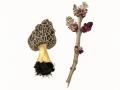 Morchella esculenta (L.) Pers. , Speise-Morchel , 2