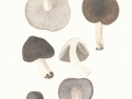 Tricholoma terreum (Schaeff.) Kumm. , Gemeiner Erd-Ritterling