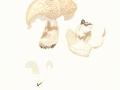 Albatrellus ovinus (Schaeff.:Fr.) Kotl. & Pouzar , Schafeuter , Schaf-Porling