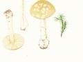 Amanita gemmata (Fr.) Bert.. , Narzissengelber Wulstling ,  NPH