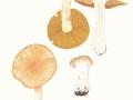 Cortinarius (Phleg.) claricolor (Fr.) Fr. , Weißgestiefelter Schleimkopf
