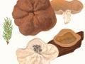 Gyromitra ancilis (Pers.:Fr.) Kreisel , Schildförmige Scheibenlorchel , Größter Scheibling