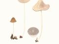 Psathyrella conopilus (Fr.) Pearson & Dennis , Huthaar-Faserling