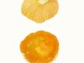 Russula aurea  Pers. , Gold-Täubling