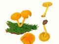 Pholiota flammans  (Batsch: Fr.) Kumm. , Feuer-Schüppling