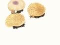 Scleroderma citrinum  Pers. ,  Kartoffelbovist , Kartoffel-Hartbovist , Hartschaliger Kartoffel-Bovist