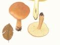Tricholoma fulvum (DC.: Fr.) Sacc. , Gelbblättriger Ritterling