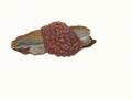 Ascotremella faginea (Peck) Seaver , Buchen-Schlauchzitterling