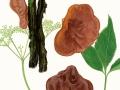 Auricularia auricula-judae (L.:  Fr.) J.Schröt. var. auricula-judae, Judasohr