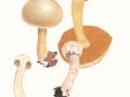 Cortinarius (Phleg.) argutus Fr. ssp. fraudulosus (Britz.) Brandr. & Melot , Trügerischer Schleimkopf