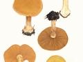 Cortinarius (Phleg.) talus Fr. , Falbblättriger Honig-Klumpfuß
