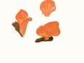 Tremiscus helvelloides (DC.:Pers.) Donk , Fleischroter Gallerttrichter