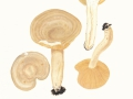 Lactarius  pyrogalus (Bull.:Fr.) Fr. , Scharfer Hasel-Milchling